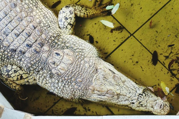 High angle view of crocodile in swimming pool at zoo