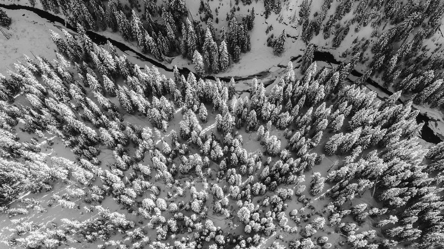 High Angle View Of Pine Trees