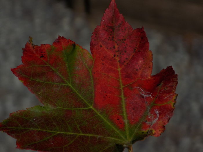 Autumn Beauty In Nature Change Close-up Day Dry Focus On Foreground Fragility Green Color Growth Leaf Leaf Vein Leaves Lonely Maple Leaf Natural Condition Natural Pattern Nature Outdoors Red Scenics Season  Selective Focus Tranquility Vibrant Color