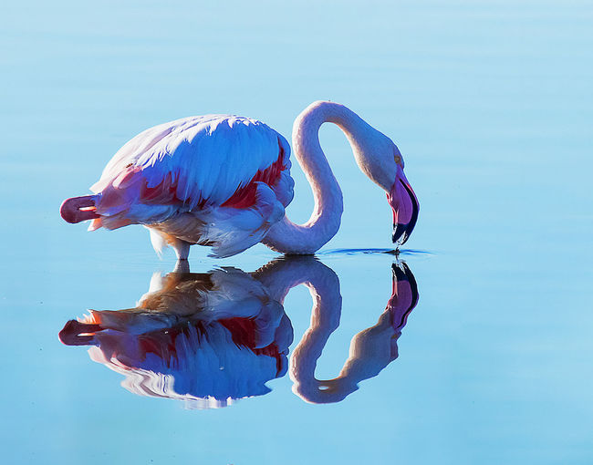 Side view of flamingo with reflection in lake