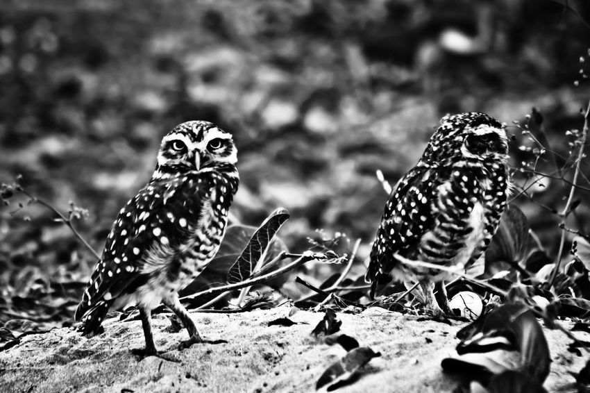 Animal Markings Animal Themes Animal Wildlife Athene Cunicularia Bird Black And White Photography Black Color Brazilian Bird Close-up Coruja Buraqueira Day Feather  Focus On Foreground Natural Pattern Nature Outdoors Owl Wildlife The Great Outdoors - 2016 EyeEm Awards Nature's Diversities