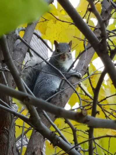 Squirrel Preparing for Winter Animal Wildlife Nature Animals In The WildOutdoors Nature Autumn Yellow Leaves Beauty In Nature FUNNY ANIMALS Cute Squirrel Cute Squirrel Wildlife Photography Wildlife & Nature