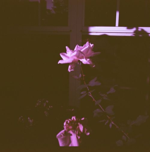 A Rose House Film 120 Diana F+