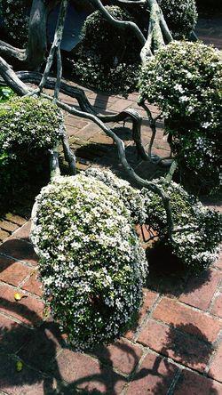 Poodled Tea tree
