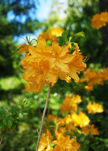 2016 Beauty In Nature Blooming Butchart Gardens Canada Flower Flower Head Growth Nature Orange Petal Plant Vancouver Yellow カナダ バンクーバー ブッチャートガーデン 花