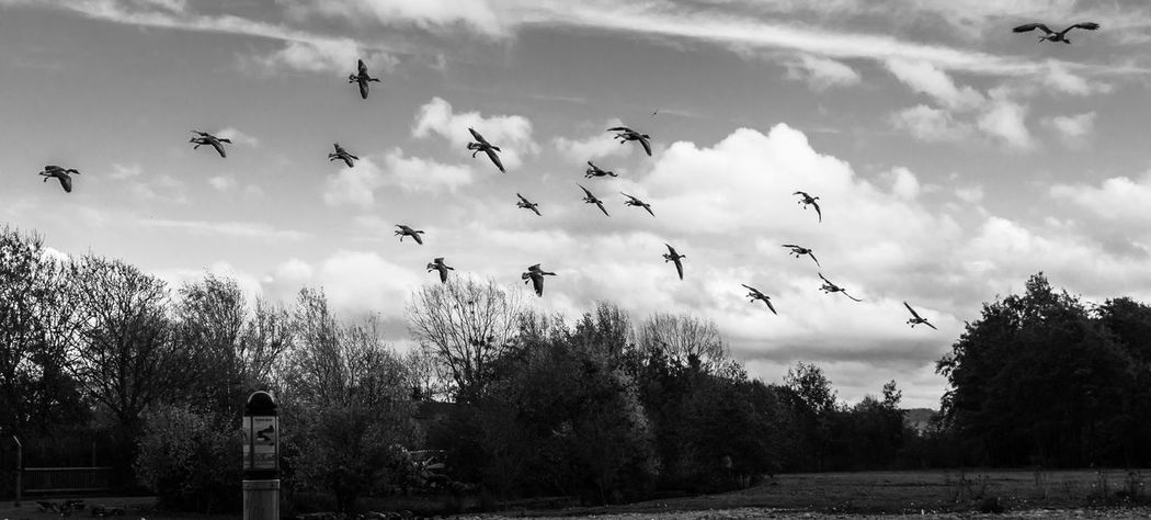 Cloud - Sky Flying Sky Bird Flock Of Birds Day Low Angle View Outdoors Mid-air Black And White