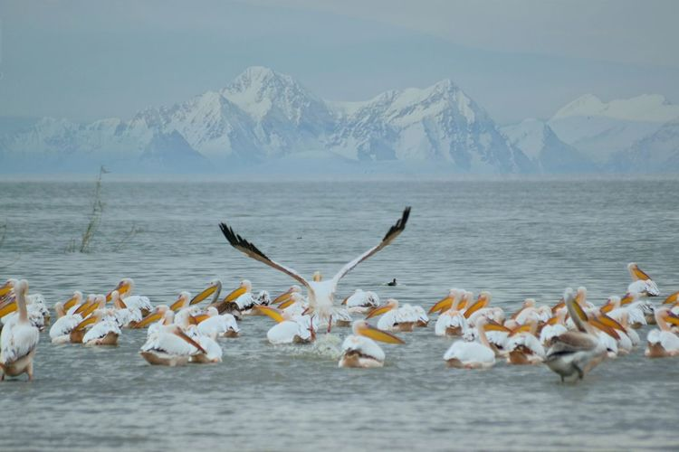 Flock of birds in sea against snowcapped mountains during winter