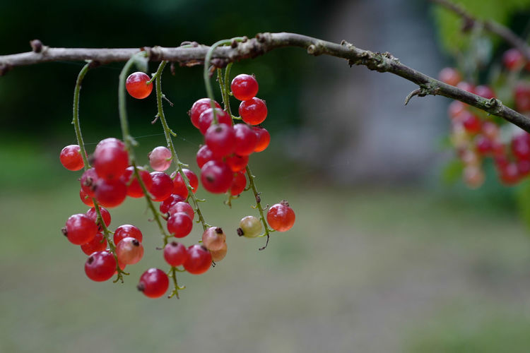 Close-Up Of Red Currants Growing On Tree