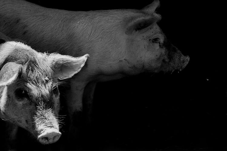 Mammal Animal Animal Themes Livestock Domestic Animals Domestic Pets Vertebrate No People One Animal Animal Body Part Cattle Close-up Cow Nature Indoors  Animal Head  Farm Herbivorous Black Background Animal Family Pig Blackandwhite Black And White Art