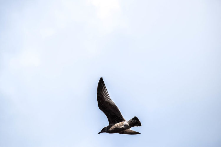 Animal Themes Animals In The Wild Avian Beauty In Nature Bird Blue Sky Flight Flying Gull Low Angle View Nature No People One Animal Open Wings Outdoors Scenics Sky Space For Copy Spread Wings Tranquil Scene Tranquility Wildlife Zoology