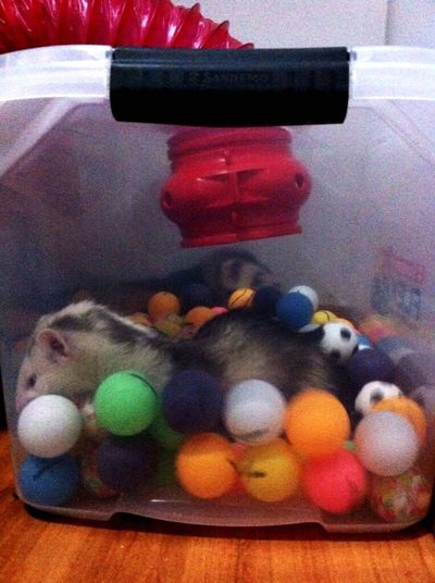 Playing With The Animals Ferret My Ferret Love ♥ Cute Pets