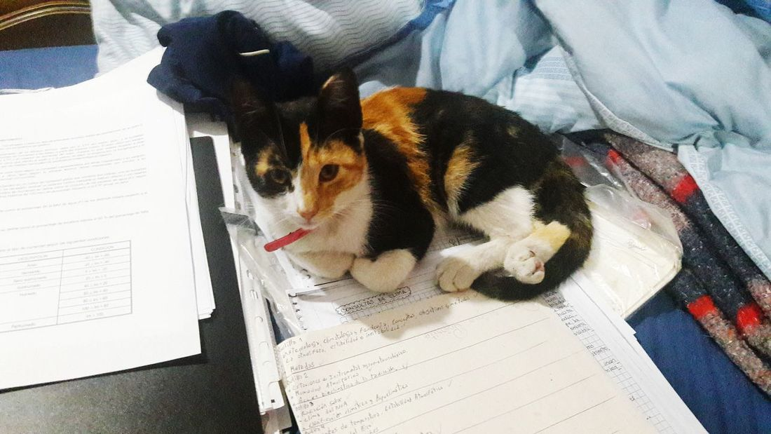 Mimi, gatita calico 5 Calico Calico Cats Are Special Gato Tricolor Calico Cat Beauty In Nature Beautiful Pets Dog Close-up Domestic Cat Cat Feline Tabby Cat Carnivora Yellow Eyes Stray Animal Ginger Cat At Home