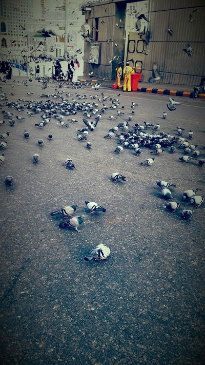 مكة المكرمة Makkah Al Mukaramah الحرم Birds