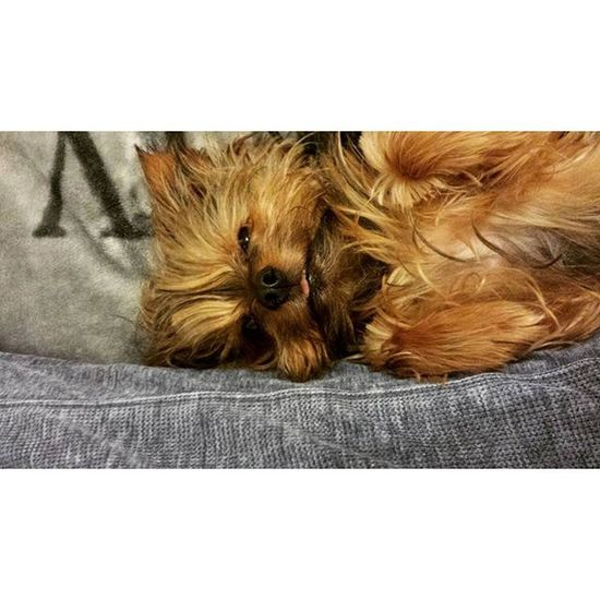 The humans best friend is the dog. ♡ Dog Yorkshireterrier Yorkshire Yorki hundsleepingsleepbestfriendneuesbildnewpicturenewneuhashtaglikeseinfachhumanbesterfreundtreulieblingsbildsosüßpictureofthedaypicofthedaypotdf4f -K♡