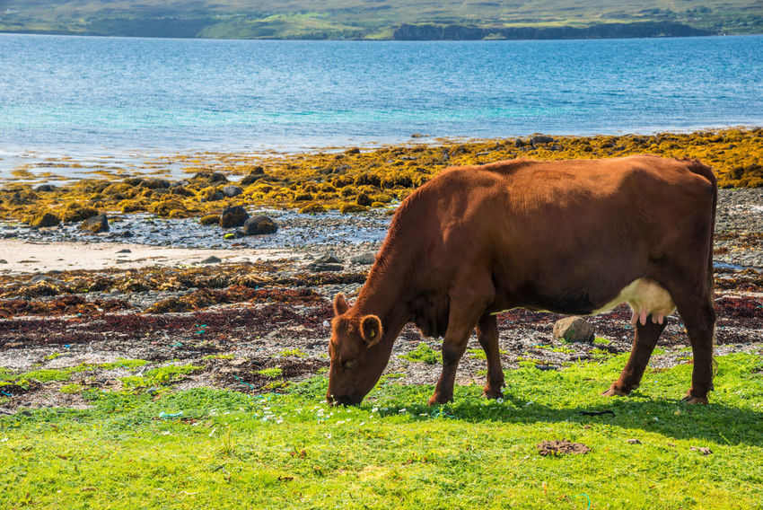 Coral Beach, Isle Of Skye Scotland Animal Themes Beauty In Nature Cattle Cow Day Domestic Animals Domestic Cattle Farm Animal Field Grass Grazing Highland Cattle Landscape Livestock Mammal Nature No People One Animal Outdoors Sea Sky Water