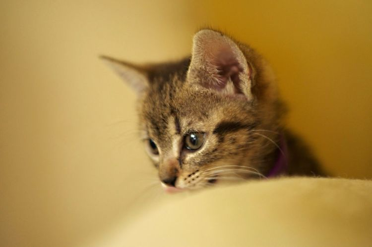 My little kitten, now is bigger Animal Themes Cat Close-up Cute Day Domestic Animals Domestic Cat Feline Indoors  Kitten Mammal No People One Animal Pets Sitting