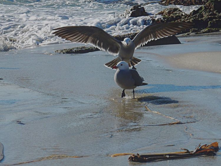Spread your wings Bird Animals In The Wild Spread Wings Animal Wildlife Water Beauty In Nature Outdoors Beach Nikon Coolpix S9900 Flying Scenics Sunny California  Ocean Pebble Beach 17 Mile Drive