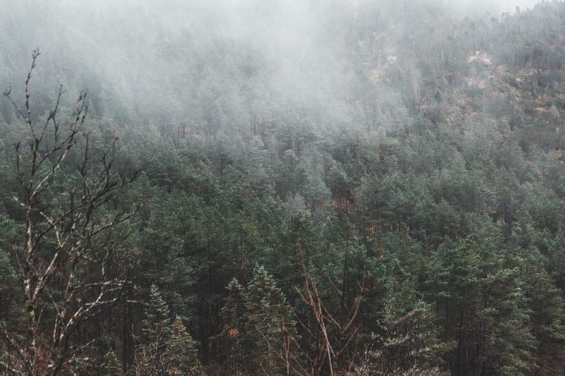 Forest Fog Full