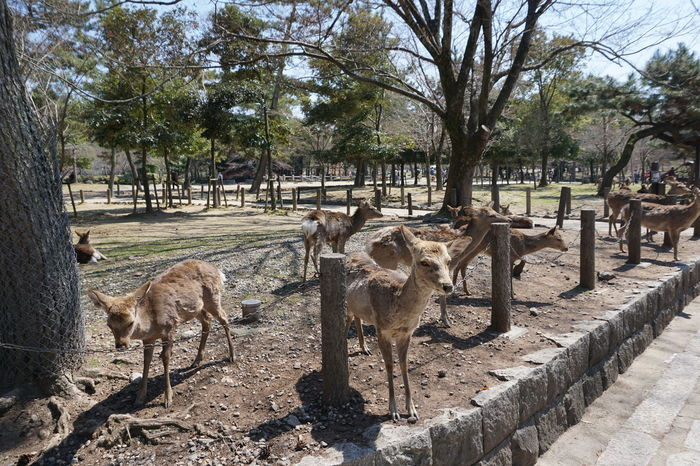 Animal Themes Day Deer Domestic Animals Japan Kyoto Large Group Of Animals Mammal Nature No People Outdoors Sky Travel Travel Destinations Tree