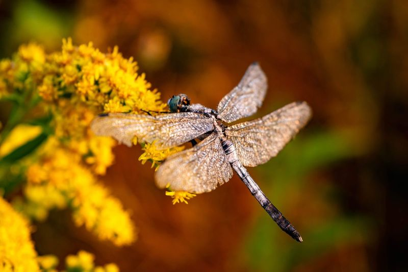 Flight preparation. EyeEmNewHere Nature Photography Nature Wildflower Insect Full Length Close-up Animal Themes Animal Wing Dragonfly Blooming Flower Head Spread Wings