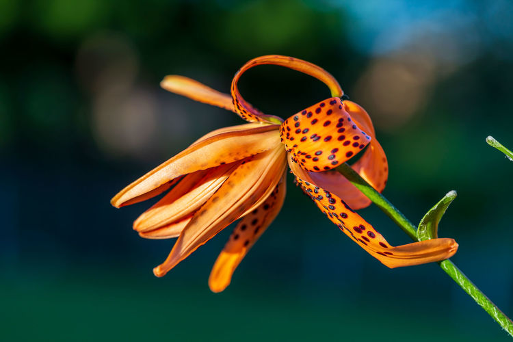 A close up of a tiger lily starting to bloom at sunset