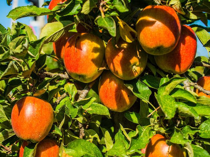 Herbstzeit - Erntezeit Apfel Apfelernte Apple Herbst Apfelbaum  Apple - Fruit Beauty In Nature Food Freshness Fruit Healthy Eating No People Orange Color Outdoors Tree