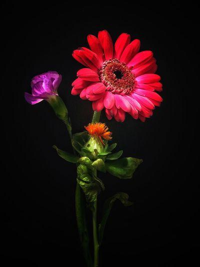 Flower Black Background Petal Flower Head Fragility Studio Shot Beauty In Nature Freshness Blooming Nature Plant