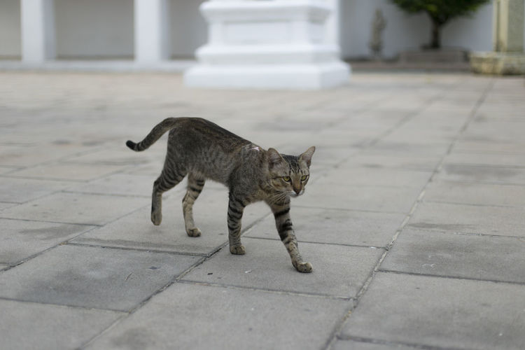 Domestic Pets Domestic Animals Mammal Cat Domestic Cat One Animal Feline Vertebrate Footpath No People Architecture Focus On Foreground Full Length City Day Street Whisker Paving Stone