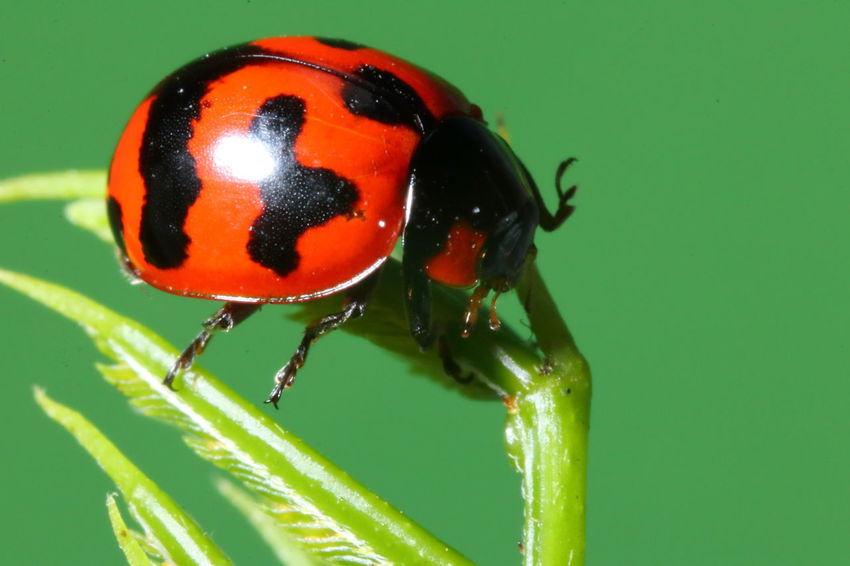 Ladybug Animal Animal Themes Animal Wildlife Animals In The Wild Beetle Close-up Day Focus On Foreground Green Color Insect Invertebrate Ladybug Leaf Macro Nature No People One Animal Outdoors Plant Plant Part Red