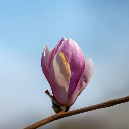 Pink magnolia flower Sky Branch negative space Copy Space Flower Head Flower Flower Head Pink Color Petal Close-up Sky Magnolia Bud Blossom In Bloom Blooming Pale Pink