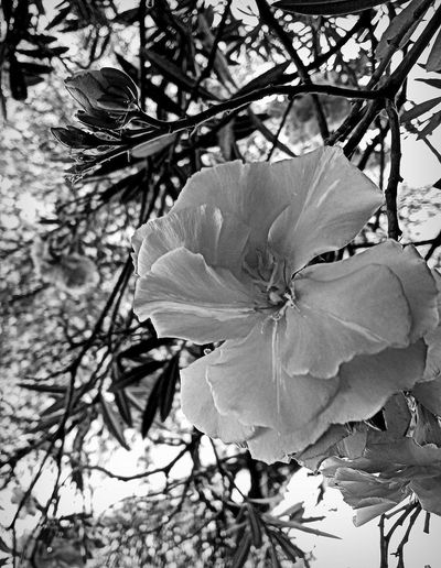 Plant Flower Petal Fragility Vulnerability  Beauty In Nature Freshness No People Inflorescence B&w
