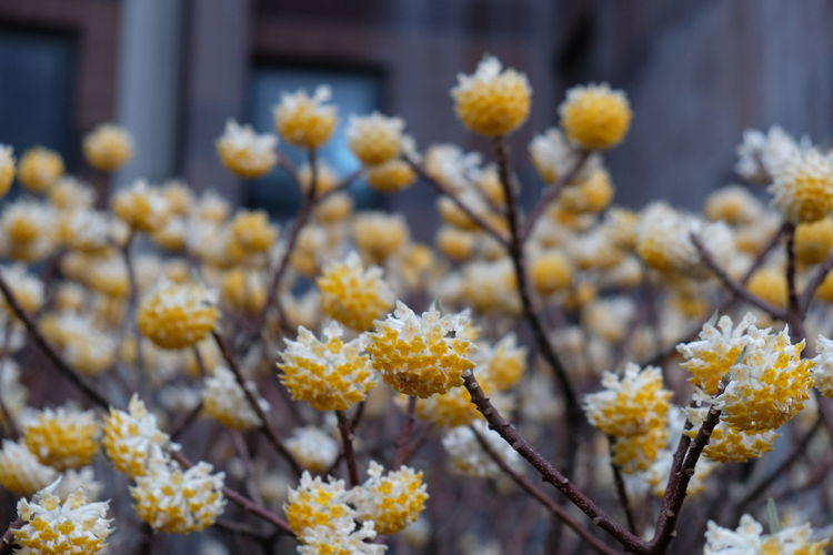 Oriental Paperbush Flower Beauty In Nature Blooming Close-up Day Flower Flower Head Focus On Foreground Fragility Freshness Growth Nature No People Outdoors Petal Plant Springtime Tree Yellow