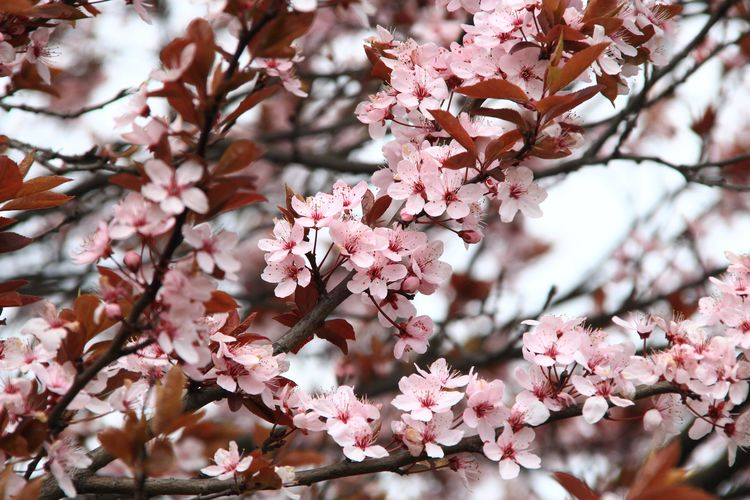 EyeEm Best Shots Beauty In Nature Blossom Branch Cherry Blossom Cherry Tree Close-up Day Flower Flower Head Flowering Plant Fragility Freshness Growth Low Angle View Nature No People Outdoors Petal Pink Color Plant Spring Springtime Tree Vulnerability