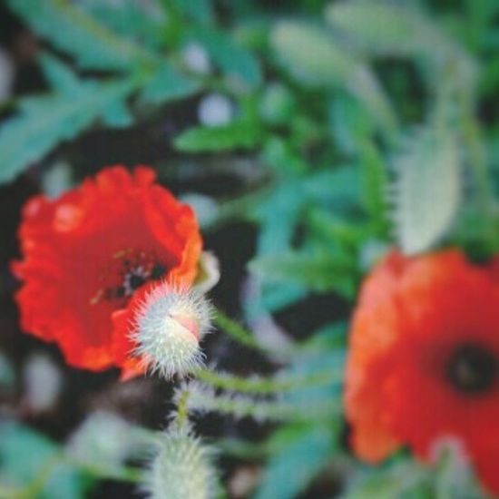 Red Little Poppies Poppies  Favoriteflower Spring Whpcolorplay