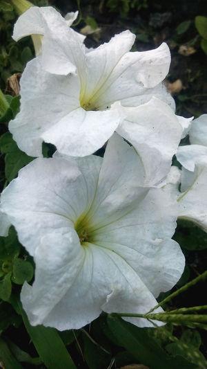 Flower Head White Color Nature No People Flower Beauty In Nature Day Flora растительность белые цветы