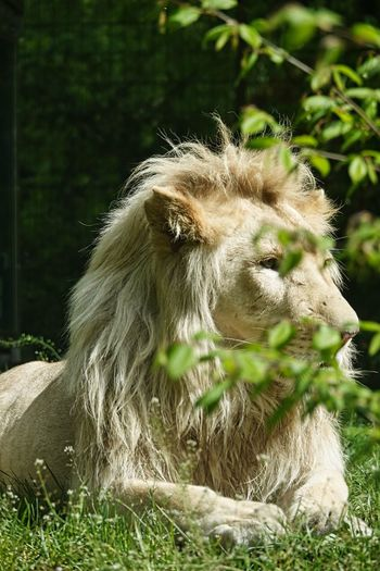 Lion's Head Lion One Animal Mammal Animal Themes Animal Plant Animal Wildlife Day Animals In The Wild Nature No People Domestic Animals Vertebrate Field Sunlight Close-up Land Pets Domestic Livestock Outdoors