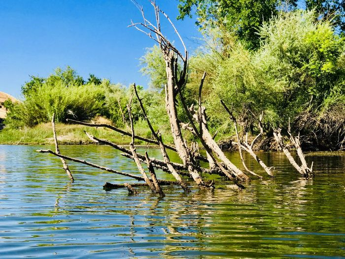 Summer Season In California Dead Branch Tree Water Plant Nature Beauty In Nature Tranquility Sky Growth Day Waterfront No People Lake Scenics - Nature Tranquil Scene Sunlight Green Color Outdoors Rippled Branch