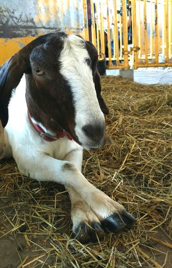 New York State Fair Goat One Animal Farm Animal CAPRA Miss Manners @nysfair Mammal One Animal Animal Themes Domestic Animals Close-up Mammal Field Messy Livestock Outdoors Animal Head  Day Zoology No People Animal