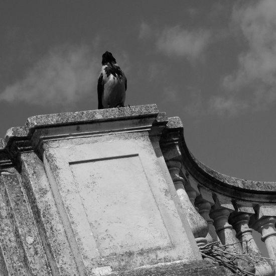 Я ворона, я ворона ... графично Чб чернобелое контраст небо перила crow graphically vk nature peterhof blackandwhite bnw monochrome fujifilm_xseries fujifilmx20