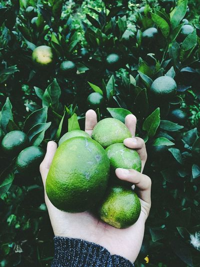 Green Color Growth No People Fruit Day Freshness Outdoors Close-up Leaf Nature Plant Beauty In Nature Healthy Eating Orange Fruits Morning Nature