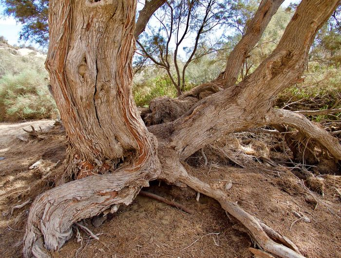 Tree Honeymoon Tree Tree Trunk Nature Root WoodLand Outdoors Day Forest Scenics Tranquility Bare Tree Branch Landscape Arid Climate Beauty In Nature Close-up No People Brown Desert EyeEmNewHere