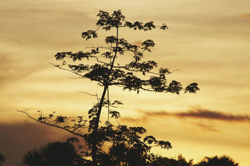 Tree Nature Sunset Silhouette Sky Outdoors No People Cloud - Sky Tree Trunk Scenics Rural Scene Beauty In Nature Landscape Plant Part Nature Photography Sunrise A6000photography a6000 Eyeem Philippines