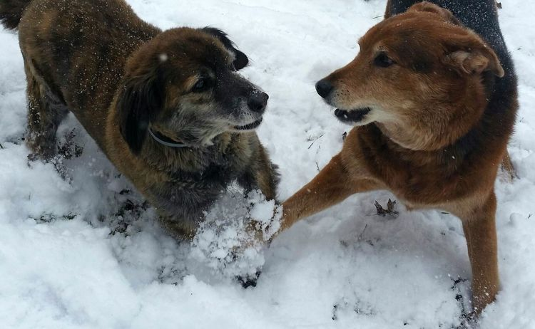 Dogs Dogs Playing In The Snow Cold Winter Snow Ohio, USA
