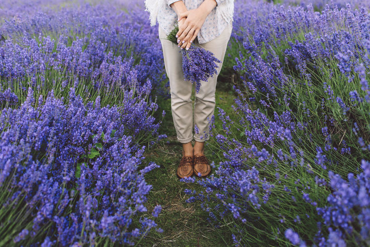 Low Section Of Woman Holding Lavender Flowers On Field