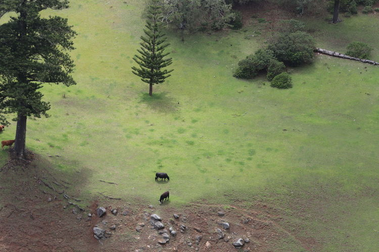 High angle view of cattle grazing on field