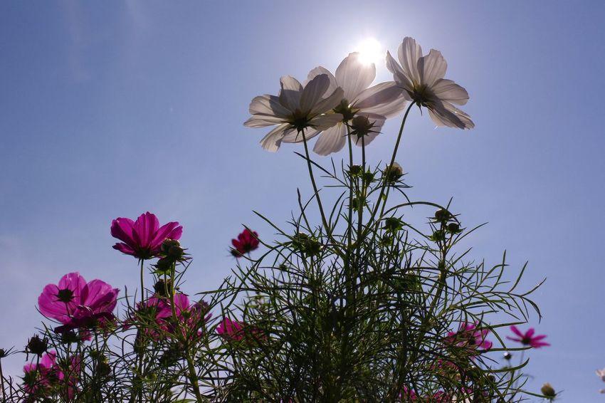 Flower Pentax K-3 国営昭和記念公園 Cosmos Flower 秋桜 コスモス畑 Plant