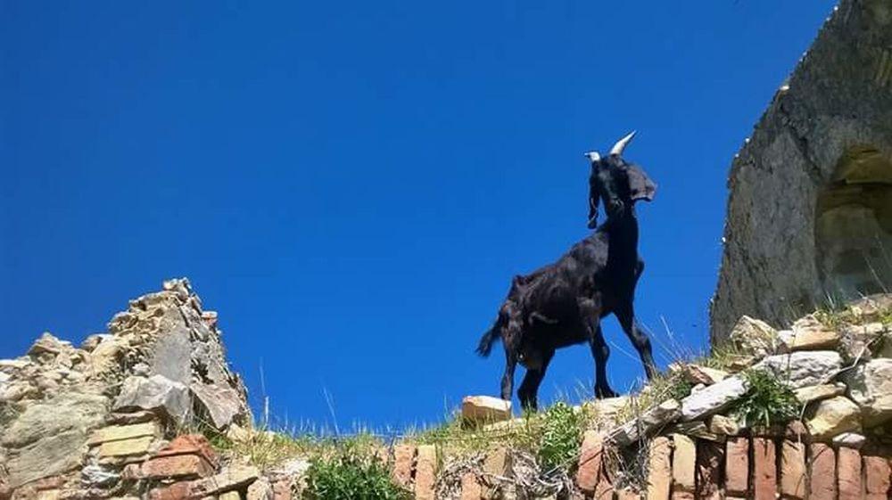 The Black Goat Goat Craco Southitaly Awesome Animals Nature