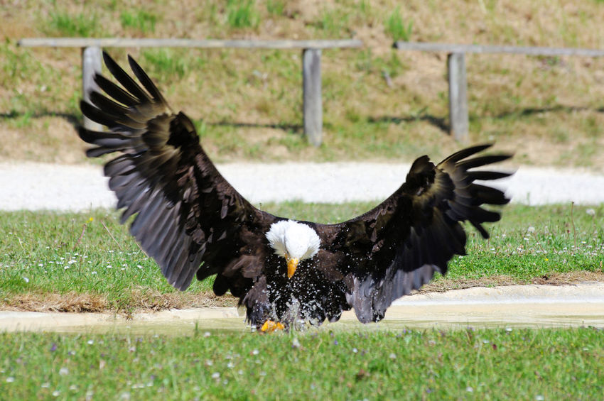 Fishing Bald Eagle Animal Wildlife Animals In The Wild Bird Of Prey Nature One Animal Outdoors Predatory Spread Wings