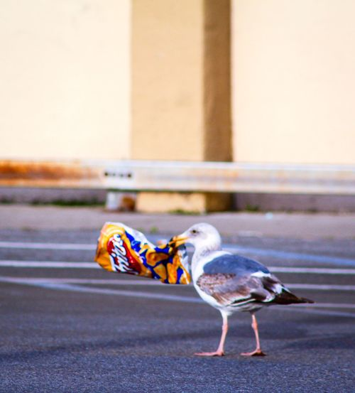 Telling Stories Differently Birds Of EyeEm  Bird Photography Eyem Gallery Eyemphotography Eye4photography  Bird Seagull Seagull Finds Snack Plastic Environment - LIMEX IMAGINE