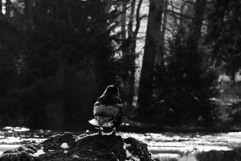 Bird Water Outdoors Rock No People Nature Forest Day Animal One Animal Blackandwhite